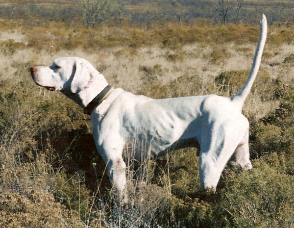 Phantom Kennels English Pointer Breeders With English Pointer